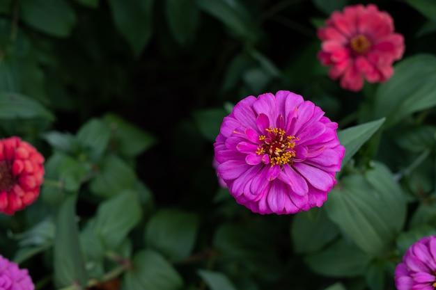 Fleur de gerbera dans le jardin