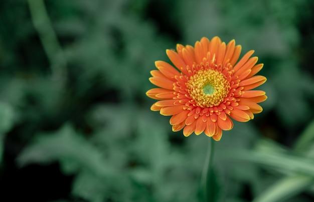 Fleur de gerbera fraîche le matin