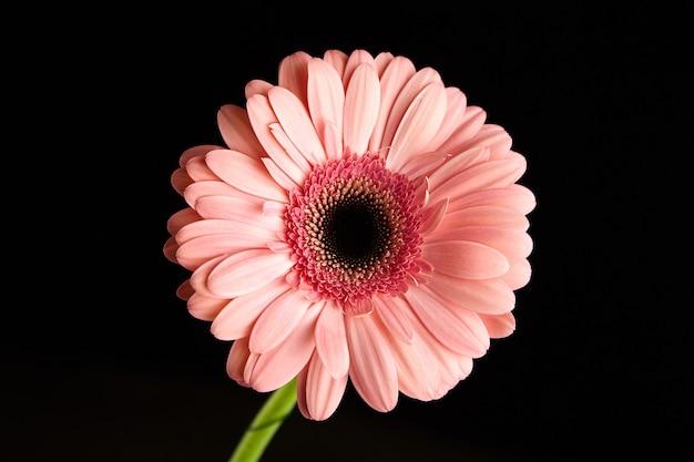 Fleur de gerbera avec de grands pétales rose vif