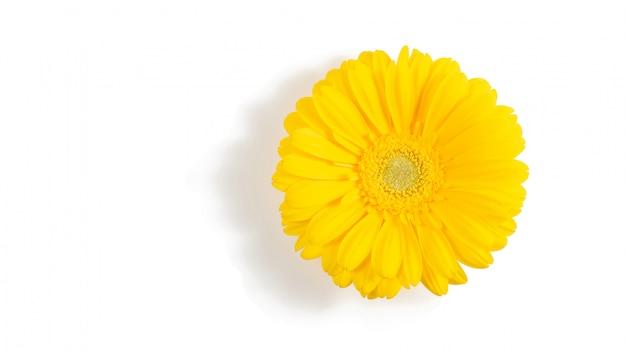 Fleur de gerbera jaune isolée