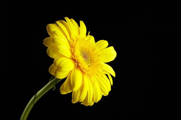 Fleur de gerbera jaune