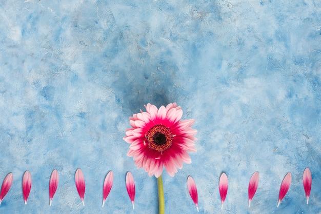 Fleur de gerbera avec pétales sur table bleue