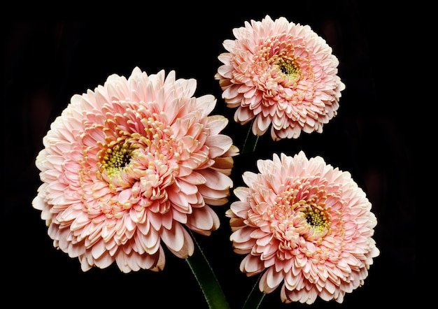 Fleur de gerbera rose douce devant fond noir. toile de fond floristique simple.
