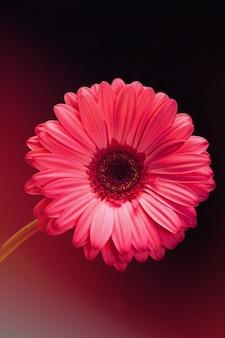 Fleur de gerbera rose sur fond noir avec des reflets de couleur