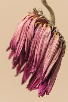 Fleur de gerbera rose séchée sur fond marron