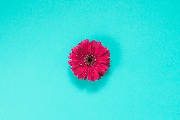 Fleur de gerbera rose sur la table bleue