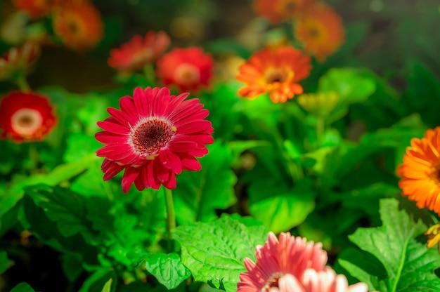 Fleur de gerbera rouge sur fond flou