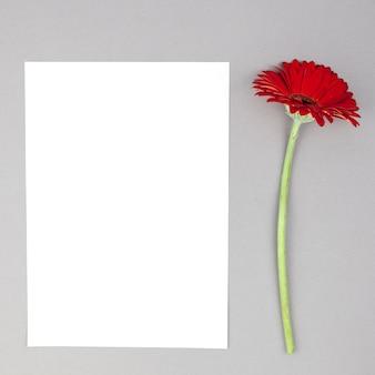 Fleur de gerbera rouge unique avec du papier blanc vierge sur fond gris