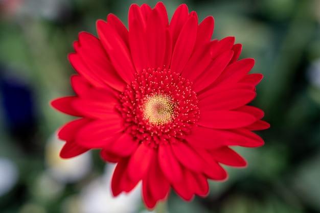 Fleur de gerbera rouge