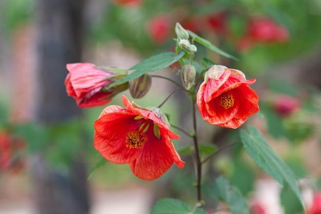 Fleur De Grenade (punica Granatum L ) à Sonoma Valley En Californie Photo Premium