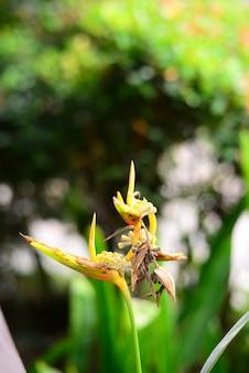 Fleur d'héliconia jaune séchée et feuilles avec un arrière-plan flou