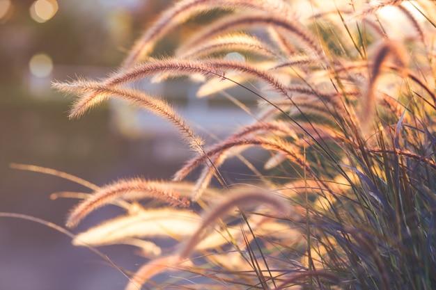 Fleur d'herbe au coucher du soleil, flou