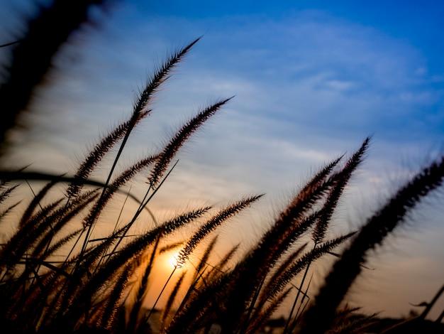 Fleur d'herbe au coucher du soleil