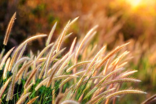 Fleur d'herbe dans la lumière dorée au lever du soleil