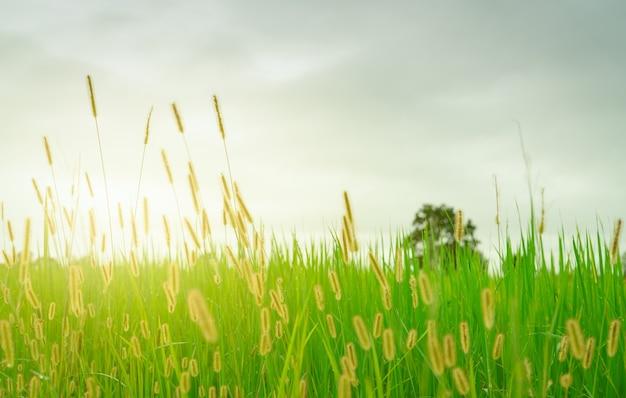 Fleur d'herbe dorée floue avec ciel nuageux en saison des pluies champ de riz vert avec fleur d'herbe