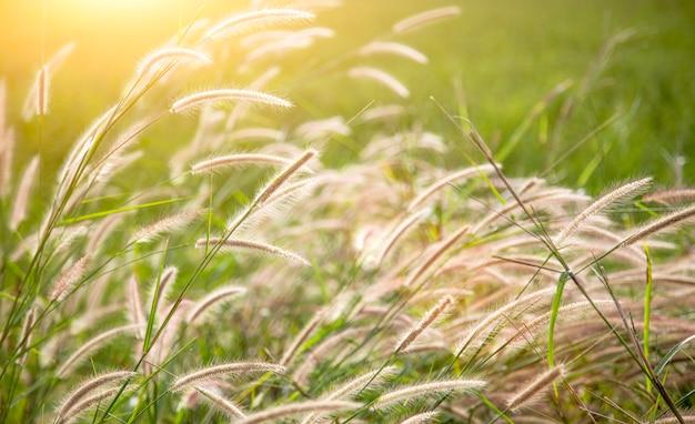 Fleur d'herbe haute sur le terrain