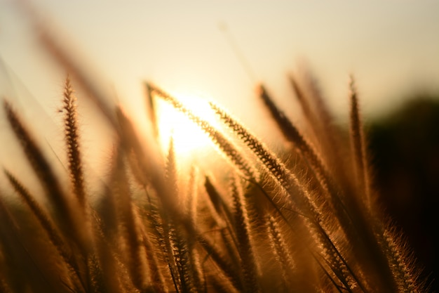 Fleur d'herbe qui fleurit parmi la lumière du soleil qui brille le matin