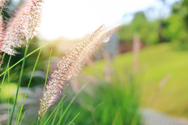 Fleur d'herbe sauvage nature au coucher du soleil doré. faible profondeur de champ.