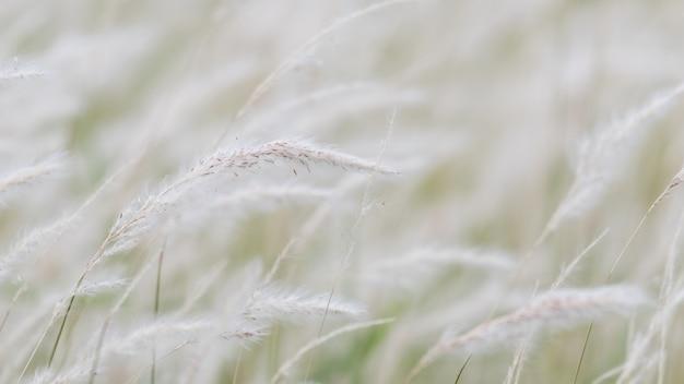 Fleur d'herbe sèche dans le vent, balancement de roseau rouge dans le vent