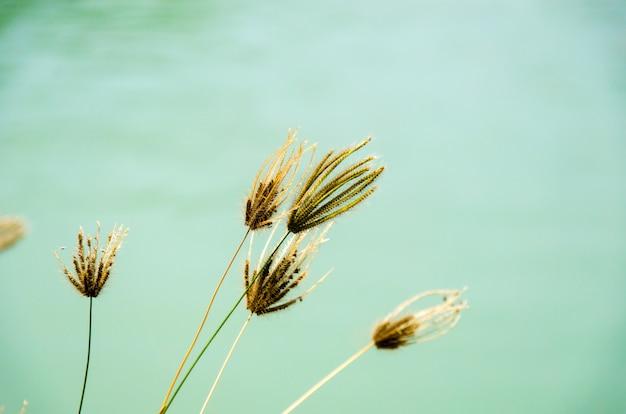 Fleur d'herbe