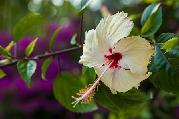Fleur d'hibiscus blanc dans la nature.