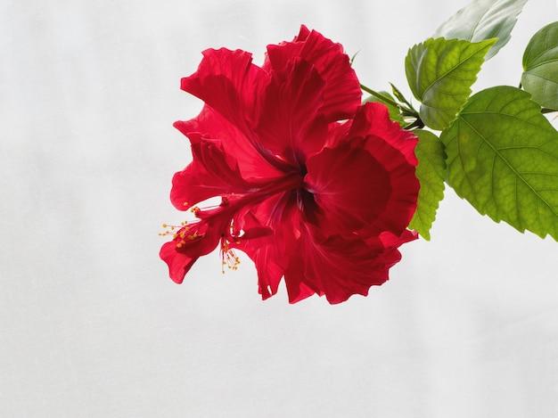 Fleur d'hibiscus chinois rouge terry sur fond blanc