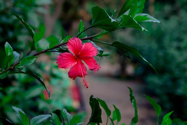 Fleur d'hibiscus dans la famille des mauves malvaceae hibiscus rosasinensis connu sous le nom de fleur de chaussure