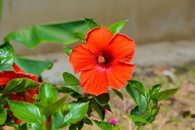 Fleur d'hibiscus. dof peu profond