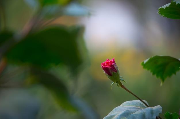 Fleur d'hibiscus de la famille des mauves malvaceae hibiscus rosasinensis connue sous le nom de fleur de chaussure