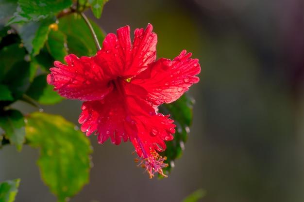 Fleur d'hibiscus de la famille des mauves malvaceae hibiscus rosasinensis fleur de chaussure connue