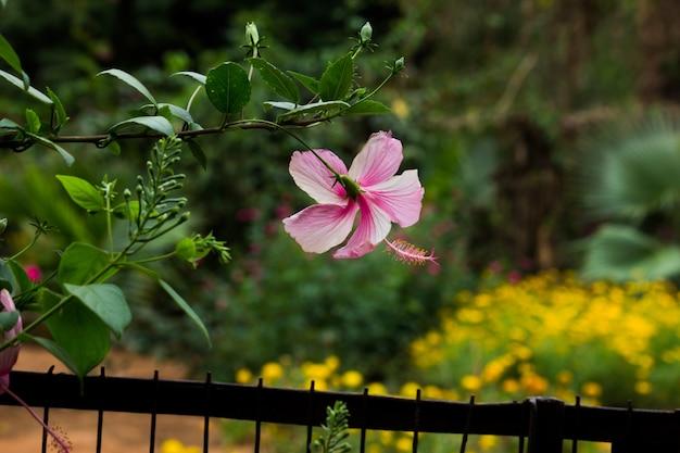 Fleur d'hibiscus de la famille des mauves malvaceae ou rosasinensis également connue sous le nom de fleur de chaussure