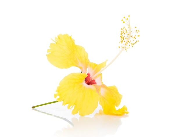 Fleur d'hibiscus jaune isolé sur blanc