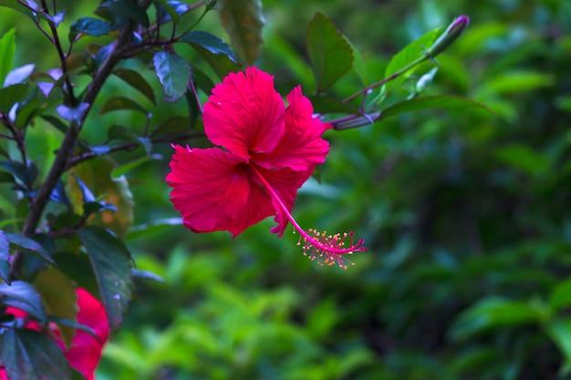 Fleur d'hibiscus ou malvaceae ou rosasinensis fleur de chaussure connue en pleine floraison au printemps