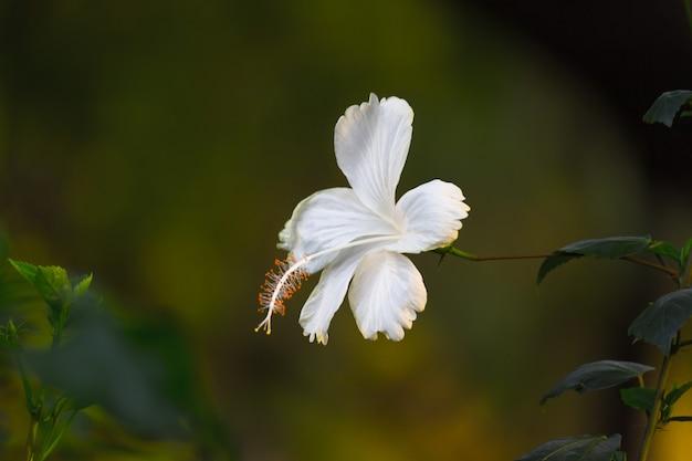 Fleur d'hibiscus en pleine floraison au printemps