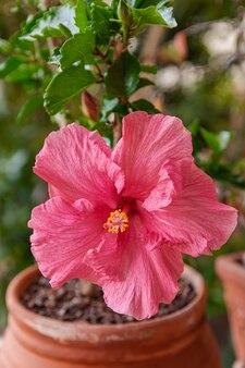 Fleur d'hibiscus rose qui fleurit