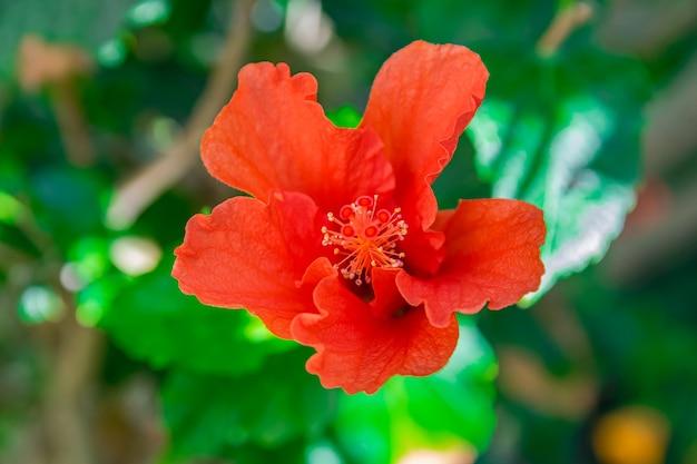 Fleur d'hibiscus rouge en fleurs rosa sinensis