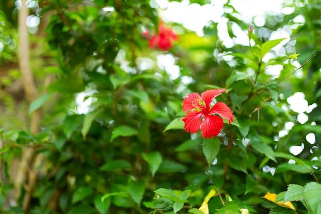 Fleur d'hibiscus tropical rouge dans un jardin vert