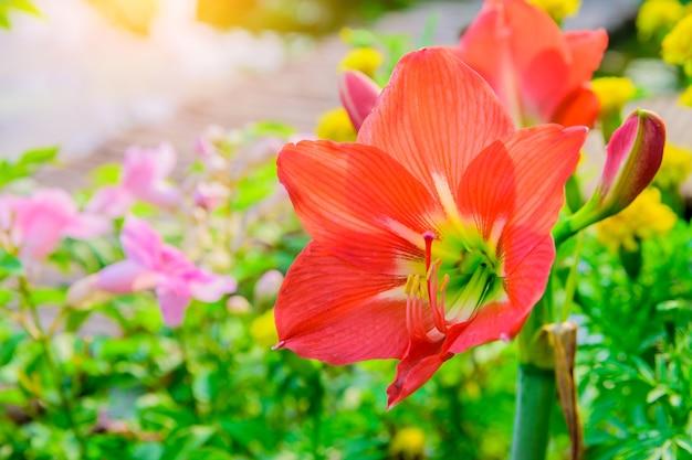Fleur d'hippeastrum