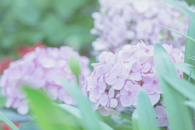 Fleur d'hortensia aux tons pastel
