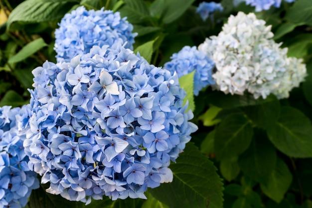 Fleur d'hortensia bleu et blanc (hydrangea macrophylla) qui fleurit au printemps
