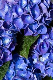 Fleur d'hortensia bleu hydrangea macrophylla dans le jardin, fond d'été