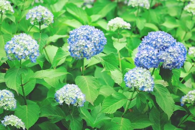Fleur d'hortensia bleue au japon