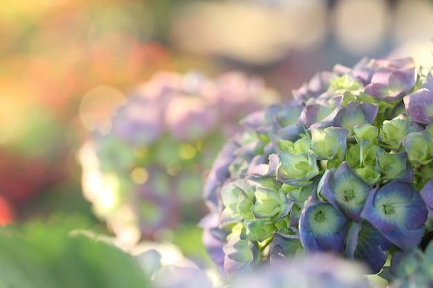 Fleur d'hortensia close up in sumrise