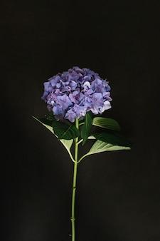 Fleur d'hortensia pourpre sur fond noir