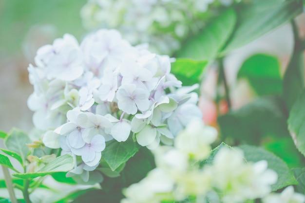 Fleur d'hortensia
