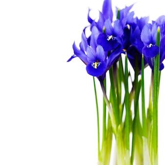 Fleur d'iris violet foncé