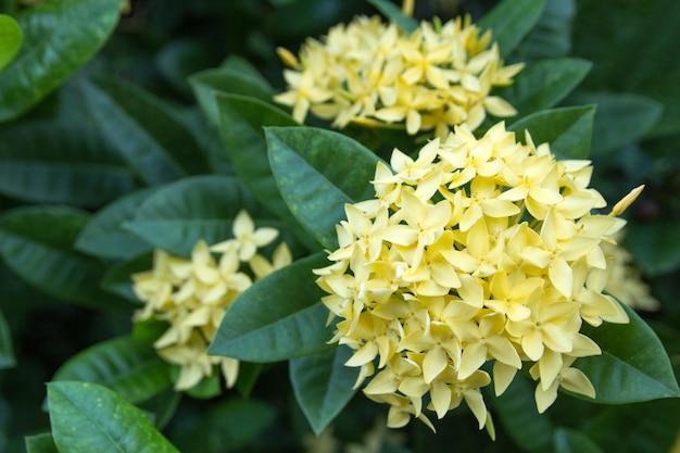 Fleur ixora jaune dans le jardin