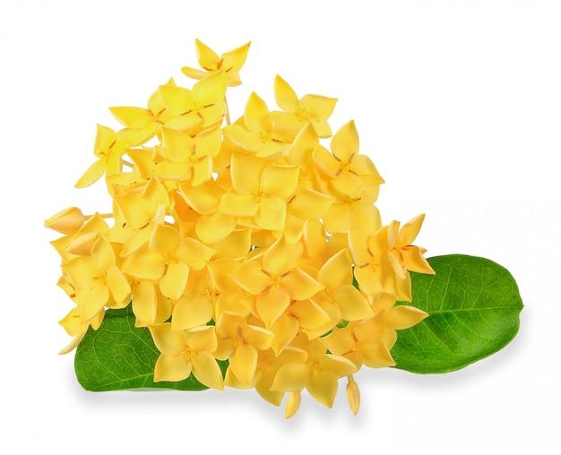 Fleur ixora jaune isolé sur un tracé de détourage blanc