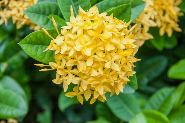 Fleur d'ixoras jaune