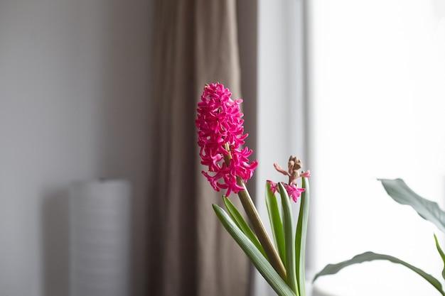 Fleur de jacinthe magenta en fleurs dans la chambre avec fenêtre